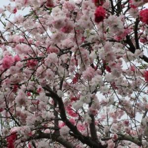 満開の花桃を見た次の日に