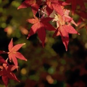 京都府立植物園の紅葉。