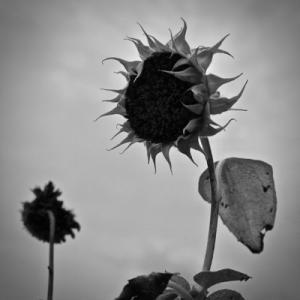 夏も終わりのモノクロ花写真。