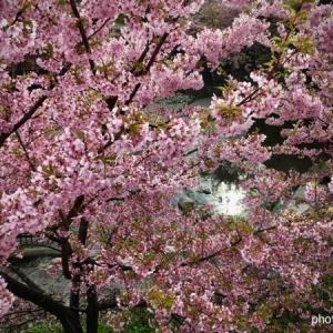 そろそろ桜の開花。