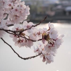 お花見と磯田道史さん。
