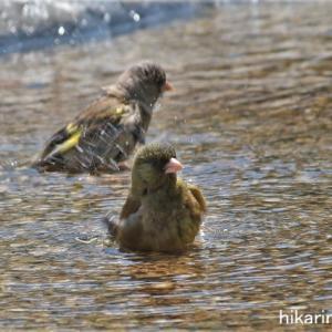 鳥たちの水浴び