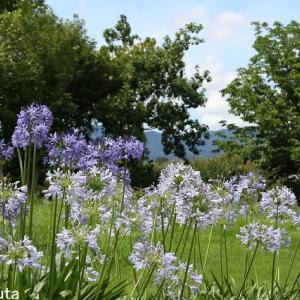 夏の花八景のアガパンサス