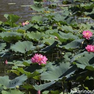蓮池とサルスベリ
