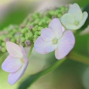 蕾のある額紫陽花
