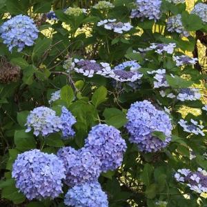 青い紫陽花と白い額紫陽花