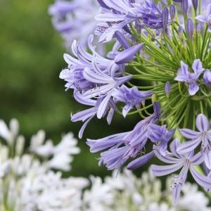 紫と白アガパンサス
