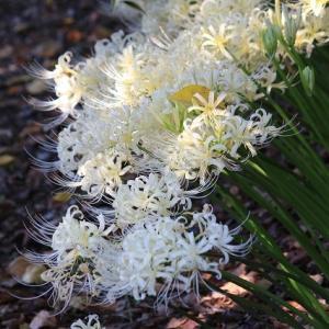 白い彼岸花の群生