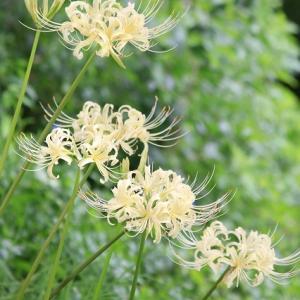 白い彼岸花たち