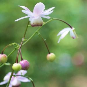 六甲高山植物園のレンゲショウマ