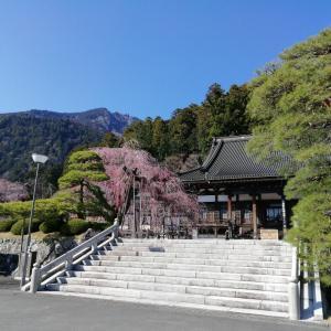 身延山 久遠寺の枝垂桜