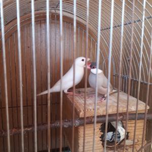 白文鳥×ダークシルバー文鳥ペア雛誕生