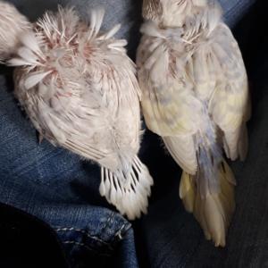 羽衣セキセイインコ
