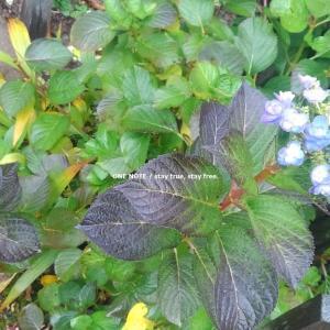 *ラスト紫陽花♪