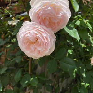 オープンガーデンに行ってきました写真、撮りきれません薔薇越しの空まで綺麗ですなんとな...