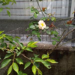 桜、マーガレット、バラ