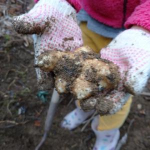美容や健康に効果絶大!スーパーフード菊芋の収穫