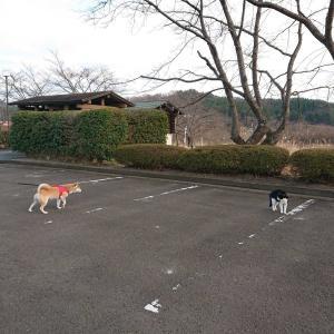 サキちゃん、またも嫌われる。立派な柴犬ですから!
