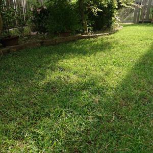 今年の芝生