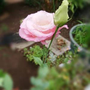 幸せな未来を約束するピンクのトルコキキョウ