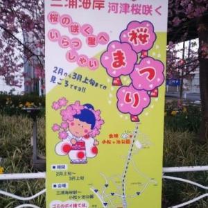 河津桜を見に行こう!