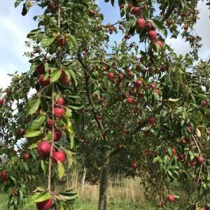 リンゴの収穫祭り