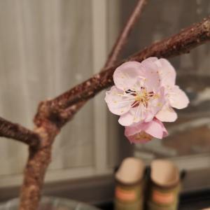 アンズの開花