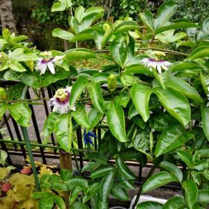 ジャンボの開花2020