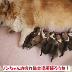 ノンちゃん最後の出産、カンナベビー健康優良児!