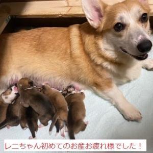 レニちゃん初めての出産 コトネベビーコロンちゃん熊本へ