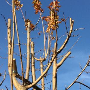 シュガーメープル伐採