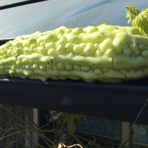 土星探しの間 / 夏野菜の片付け その1