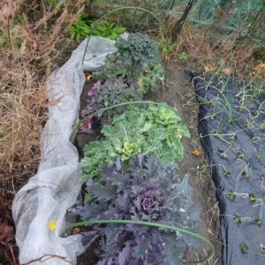 No.1359 プチヴェールの葉っぱの収穫開始