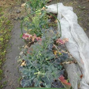 No.1390 ブロッコリーの脇芽収穫