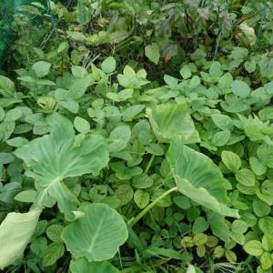 No.1533 枝豆の初収穫