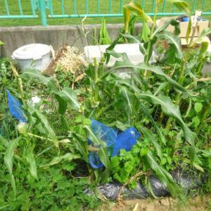 No.1561 トウモロコシの追加収穫