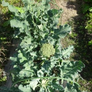 No.1676 ブロッコリーの収穫