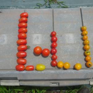 No.1899 ミニトマトの収穫続く