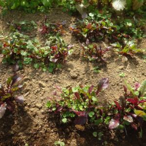 No.1900 サラダビーツの初収穫