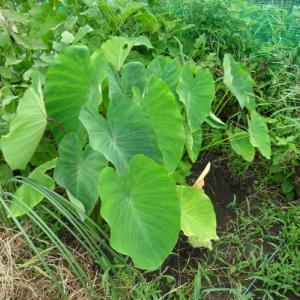 No.1208 里芋の葉がかなり大きくなる