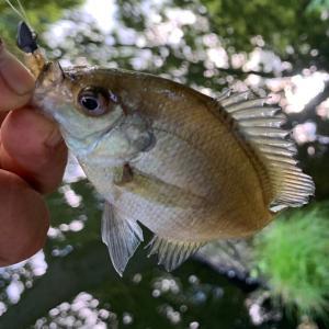 [ギル]釣りはなんでも楽しめる。