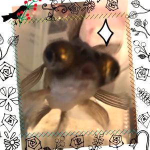 コレが本物の【金魚すくい】だー!!(趣味のお話)