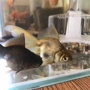 瀕死状態おヒゲを助ける絶食と塩水浴〜♪(趣味のお話)