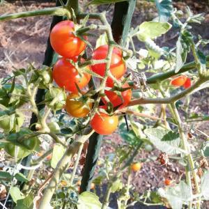【家庭菜園】今年はトマト出来ました♪
