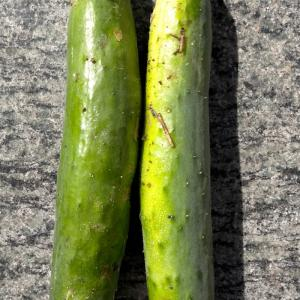 【家庭菜園】きゅうり 収穫♫