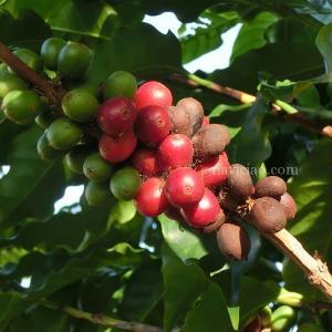 マウイのコーヒーの葉に「さび病」が!~壊滅的打撃になる可能性も