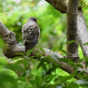 公園のツミとオオヨシキリ