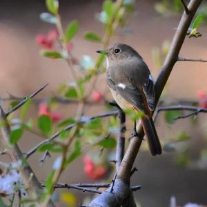 ウソとトラツグミとサンショウクイと…、その他の冬鳥たち。