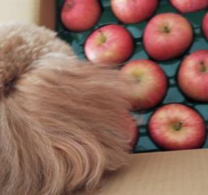 リンゴが美味しい季節!