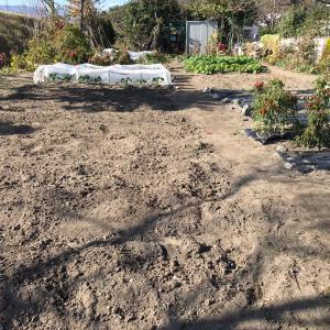 とっくり芋の収穫で今年の畑仕事は手仕舞い